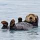 Sea Otter Partner